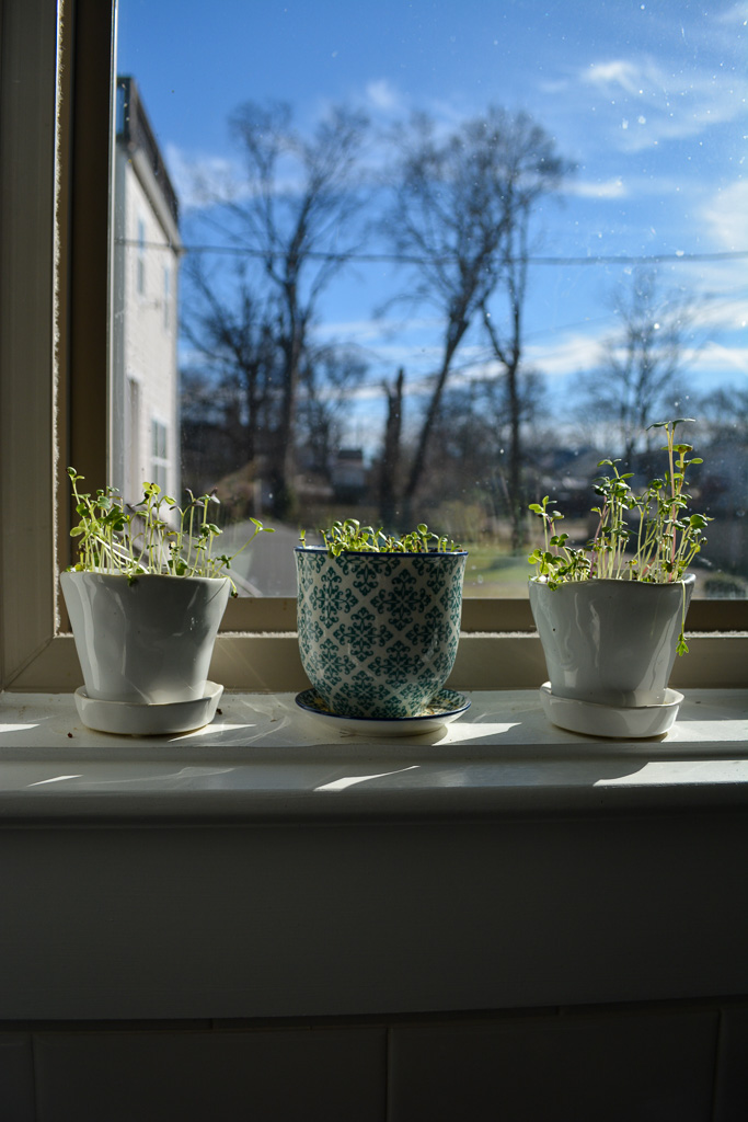 Microgreens growing in the windowsill