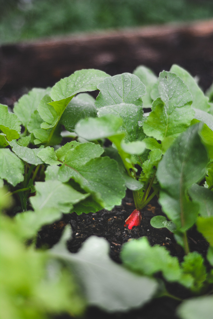 French breakfast radish growing in the garden