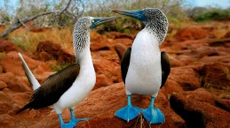Blue Footed Boobies, Galapagos Islands (found on Google)