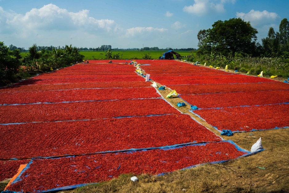 red chillies drying
