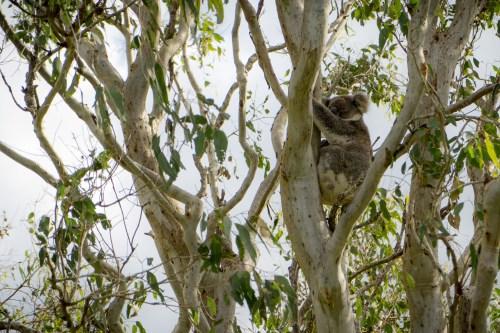 Koala wild Australia NSW
