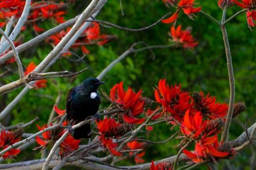 Tui, bird, New Zealand