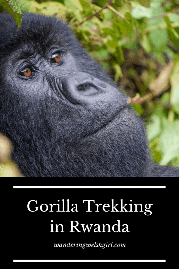 A guide to trekking with gorillas in Rwanda. Discover what you can expect from this once in a lifetime experience