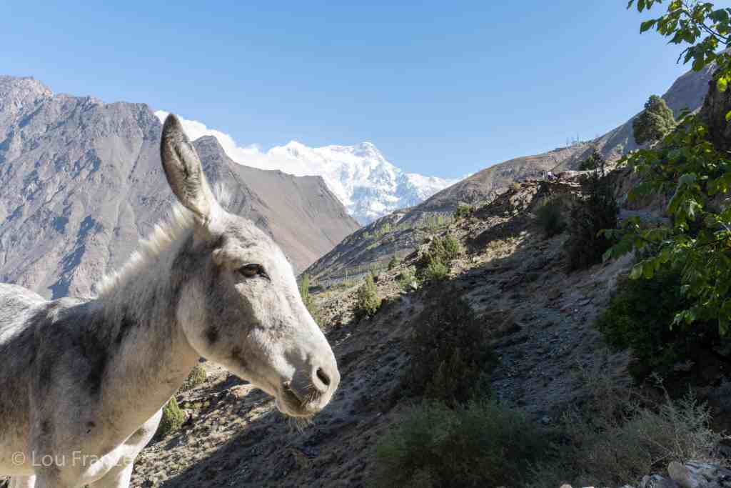 A friendly mule we encountered on our Rakaposhi BaseCamp trek
