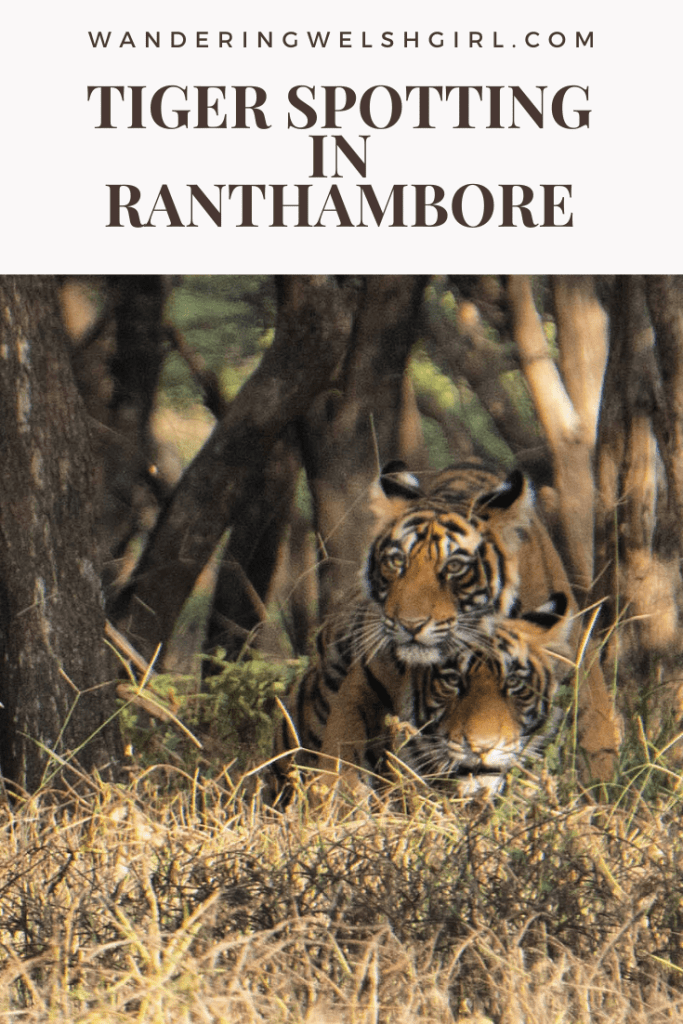 This post provides all the information you need to know to do a Ranthambore tiger safari. How to spot tigers in Ranthambore National Park, Rajasthan,  India.