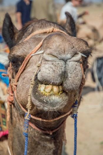 Smiling Camel, Jaisalmer, India