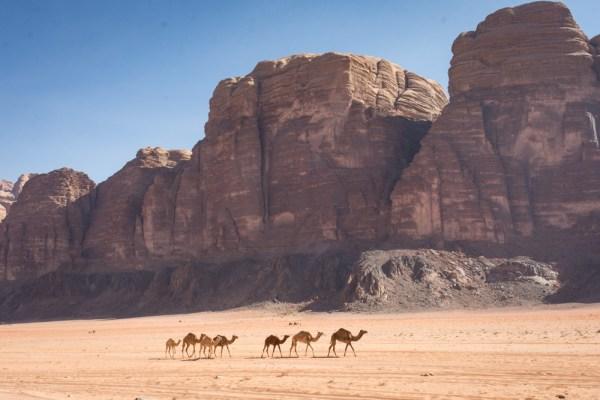 Camels in Wadi Rum, Jordan by Wandering Wheatleys