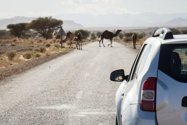 Camel Crossing in Morocco by Wandering Wheatleys