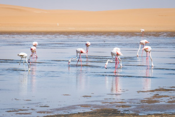 Flamingos in Walvis Bay, Namibia by Wandering Wheatleys