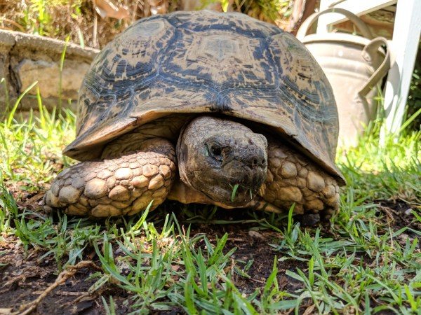 Tortoise at the Garden Cafe, Luderitz, Namibia by Wandering Wheatleys