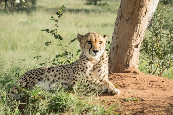 Cheetah in Okonjima Nature Reserve, Namibia by Wandering Wheatleys