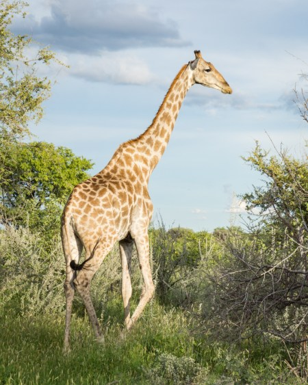 Giraffe in Etosha National Park, Namibia by Wandering Wheatleys