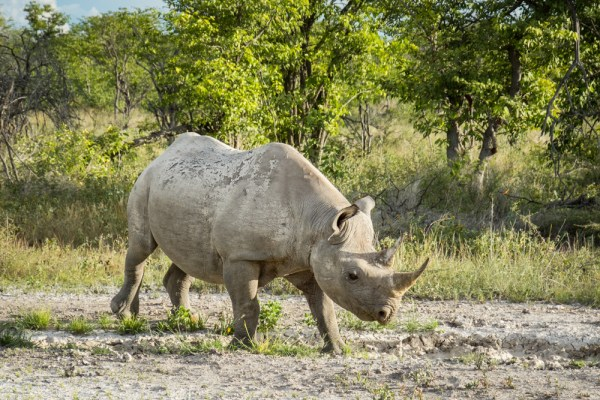 White Rhino in Etosha National Park, Namibia by Wandering Wheatleys