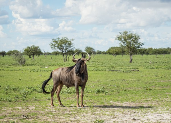 Wildebeest in Etosha National Park, Namibia by Wandering Wheatleys