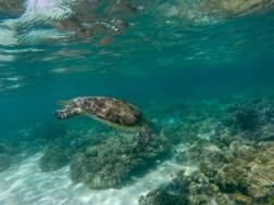 Mr. Sea Turtle breezing on past me