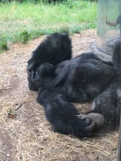 Omaha Gorilla