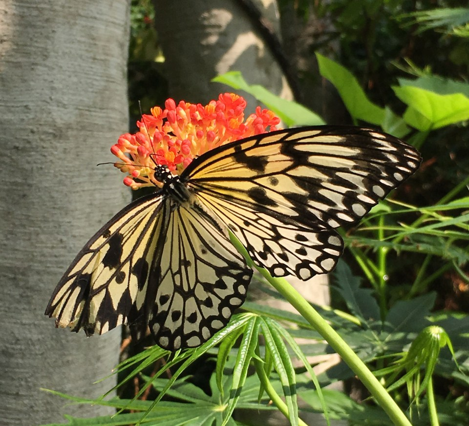 Omaha Butterfly