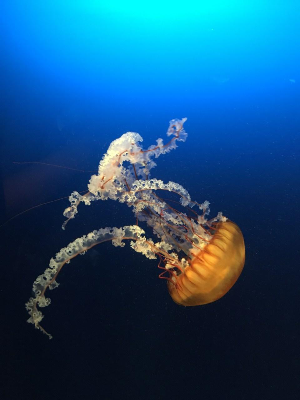 Omaha Jellyfish