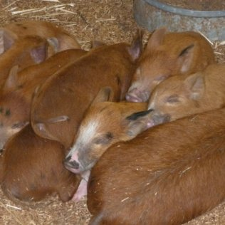 RMS Piglets