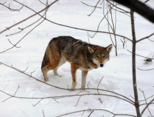 Winter Zoo - Red Wolf