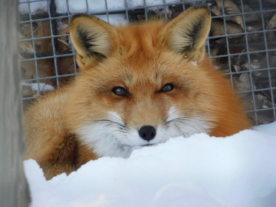 Winter Zoo - Fox
