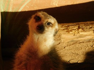 Winter Zoo - meerkat