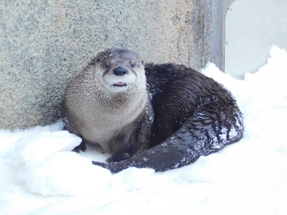 Winter Zoo - Otter
