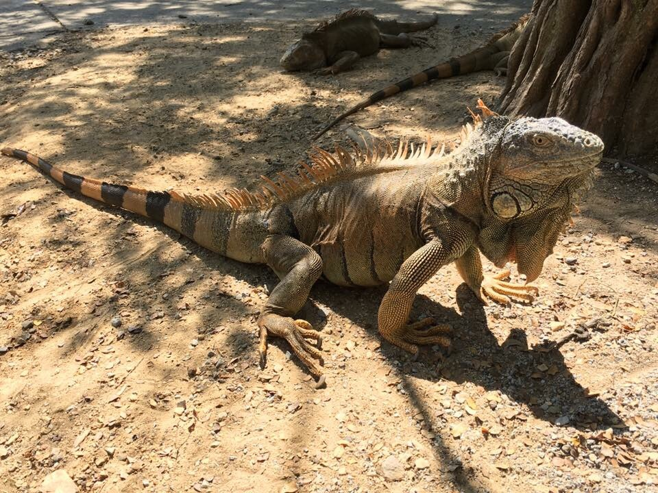 Roatan Bay Iguana
