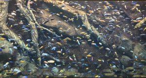 Atlanta Cichlids