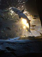 Atlanta Shark