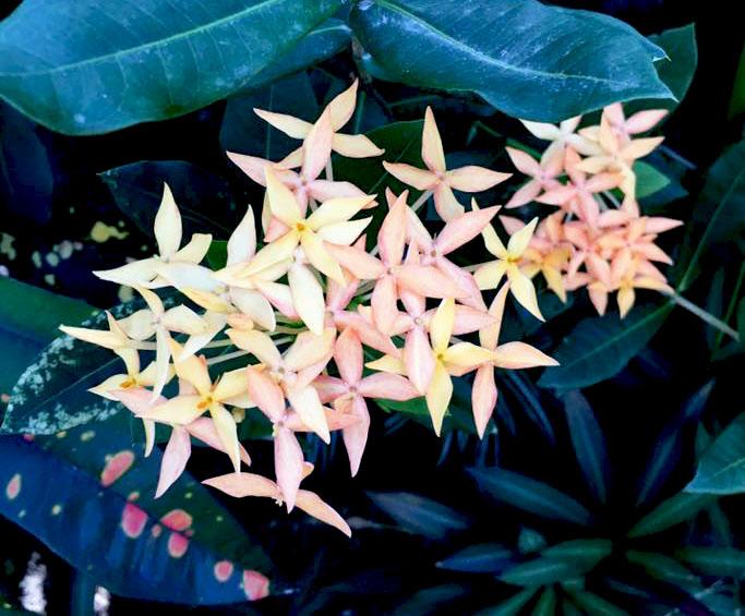 Belize Flowers