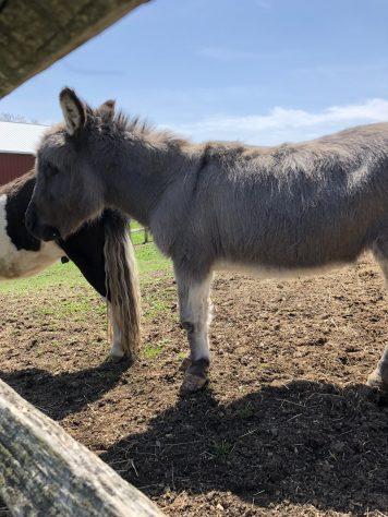 Cayuga Lake - Swedish Hill Donkey