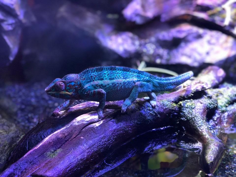 Japan - Ueno Zoo Chameleon