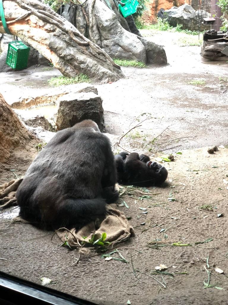 Japan - Ueno Zoo Gorillas