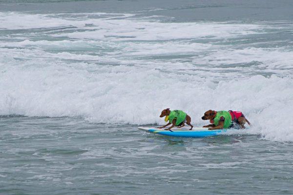 Ocean Beach Surfing Dogs
