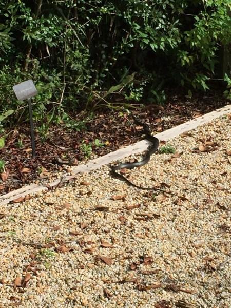 Merritt Island Snake - Florida's Northeastern Coast