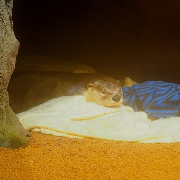 The Wild Center Otter