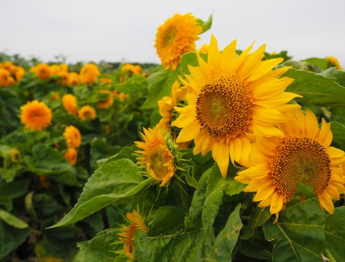 Wickham Farms Sunflowers