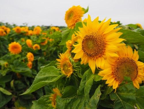 Wickham Farms Sunflowers