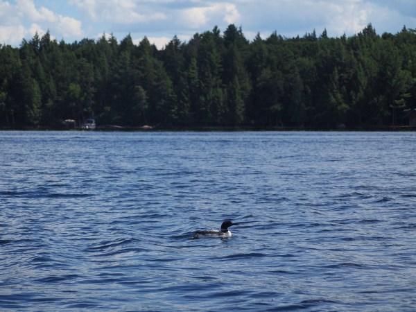 Loon on Raquette Lake