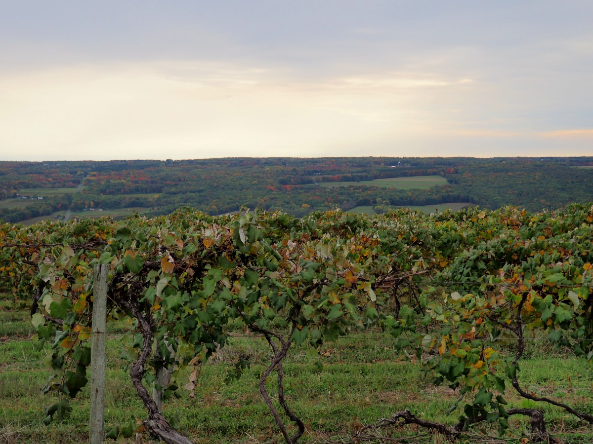 Vineyards in Penn Yan