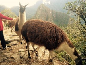 Contiki Tours Llama