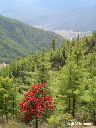 Bhutan Tree
