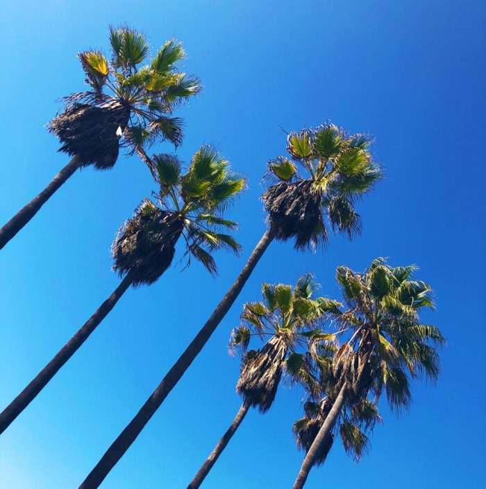 Palm Trees at Santa Monica, Los Angeles