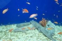 Osaka-Aquarium-Kaiyukan-shark
