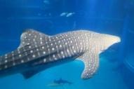 Osaka-Aquarium-Kaiyukan-whaleshark