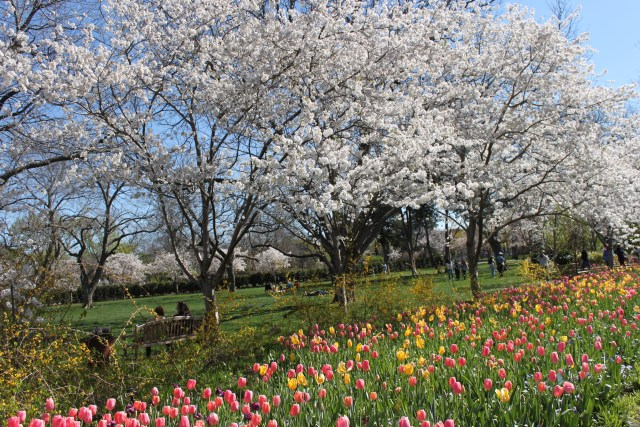Dallas Arboretum Spring Blooms: Tulips, Cherry Blossoms, Azaleas and More!