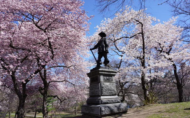See New York's Central Park Cherry Blossoms at Full Bloom