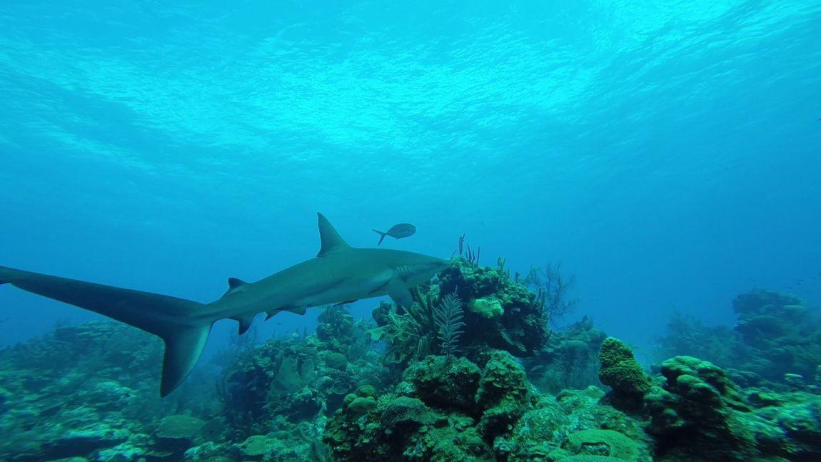 divebelize-reefshark