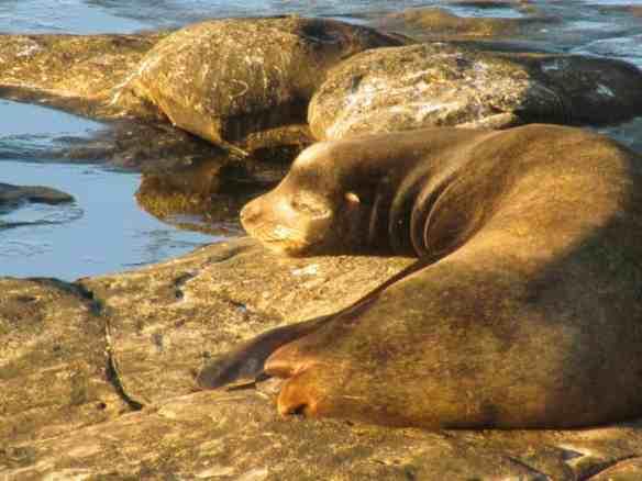 Seal in La Jolla